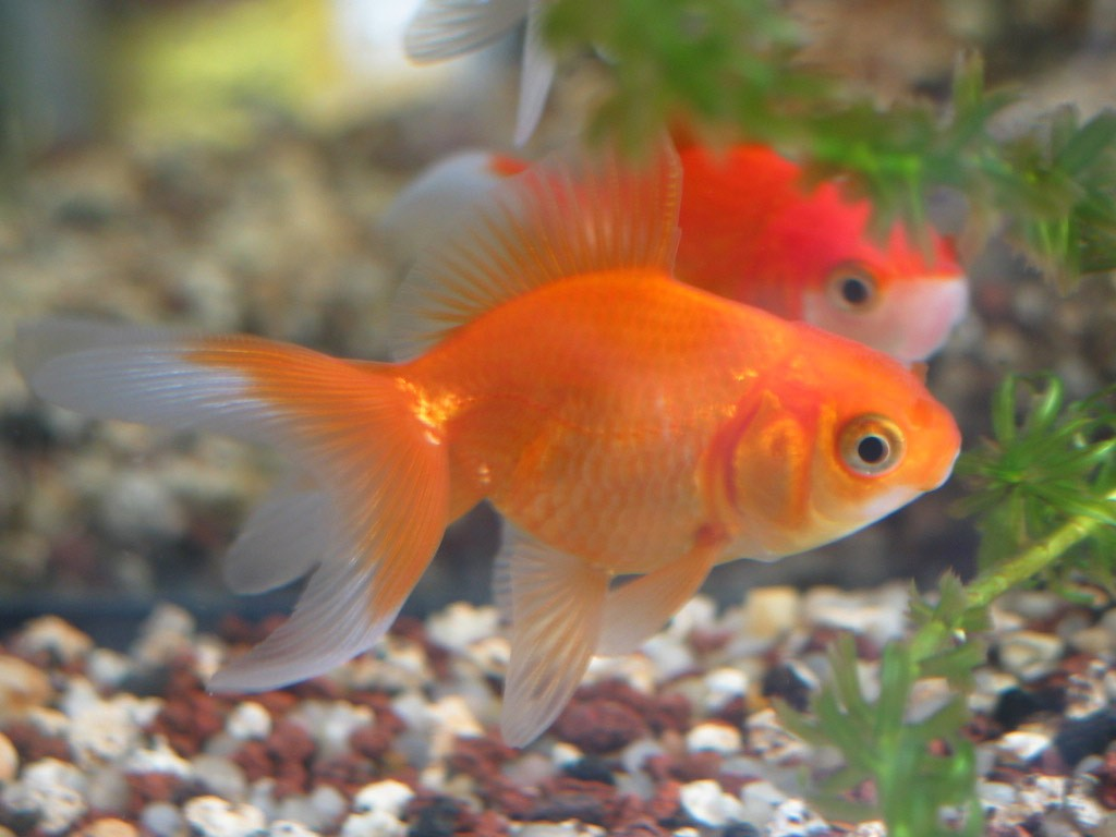 Quels poissons d aquarium choisir les v t rinaires for Aquarium a poisson rouge