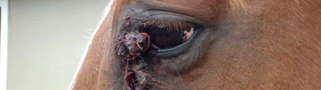 sarcoïde chez le cheval